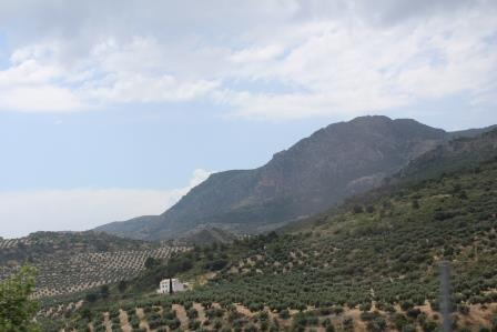 Olive groves in the mountainous region of Andalucía, southern Spain.